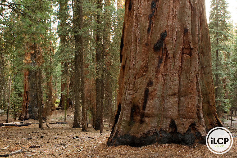 Giant Sequoia (Sequoiadendron giganteum) tree in forest, Sierra Nevada, Sequoia National Park, California