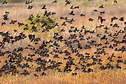 Red-winged blackbirds fill the fields and marsh at a managed pond for waterfowl at the Savannah National Wildlife Refuge. South Carolina
