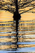 Graphic reflection of a cypress tree at Lake Mattamuskeet.