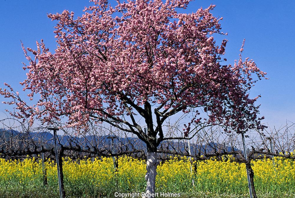 Mustard in the Spring, Napa Valley, California