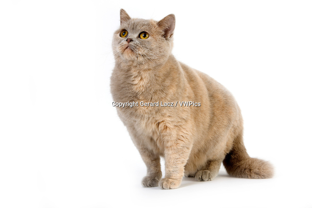 Lilac Cream British Shorthair Domestic Cat, Female against White Background