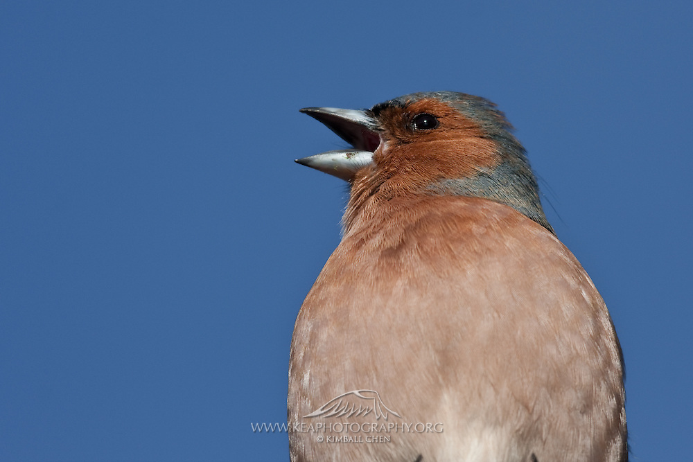 Chaffinch, Queenstown, New Zealand