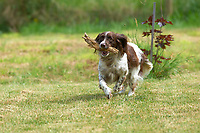 Springer Spaniel running with a stick   Photo: Peter Llewellyn