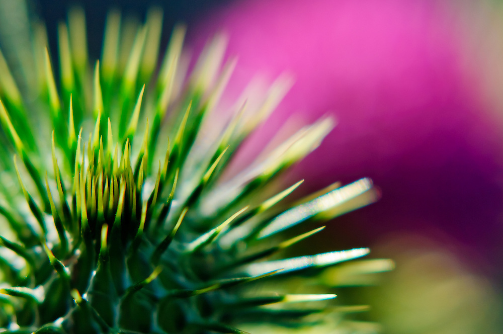 Close-up stock photograph of the prickly green flower bulbs and pink flowers of a Scotch Thistle (Onopordum sp.)