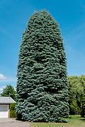 Large shrub in cul de sac towering over suburban house.