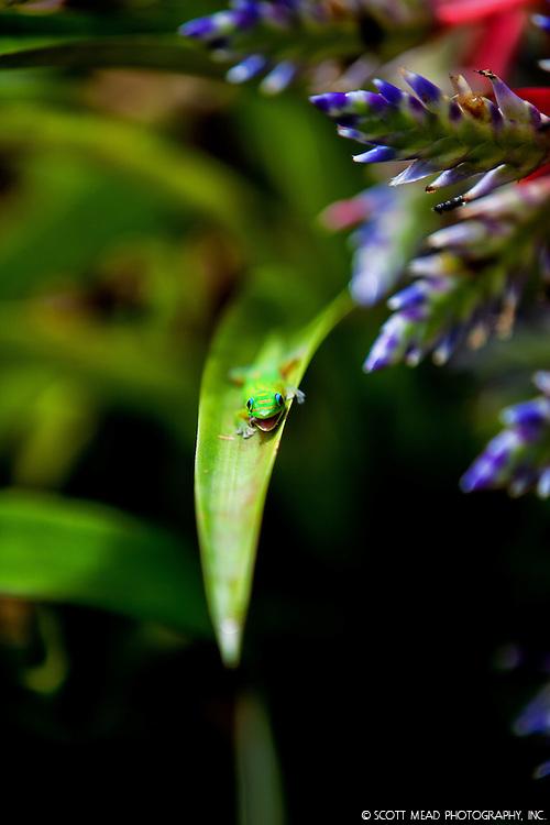 A Madagascar gecko snacks on a bug, while resting on a bromeliad leaf on the Big Island of Hawaii