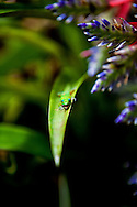 A Madagascar gecko snacks on a bug, while resting on a bromeliad leaf on the Big Island of Hawaii