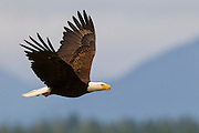A bald eagle (Haliaeetus leucocephalus) flies over Hood Canal in Washington state. Dozens of bald eagles congregate near Seabeck Bay early each summer to feast on fish trapped by low tide. A portion of the Olympic Mountains are visible in the background.