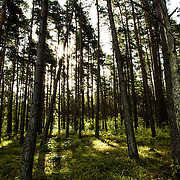 The forest, in Kihnu Island. Large 16 square kilometers, around 450 people are living on the island
