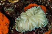 Bubble Coral (Euphyllidae)<br /> Cenderawasih Bay<br /> West Papua<br /> Indonesia