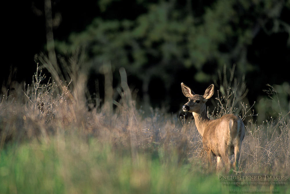 Female Doe Deer in afternoon light, Vineyard Drive, Paso Robles San Luis Obispo County, California
