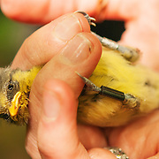 This blue tit chick is fitted with a PIT tag and bird ring before it has left the nest, ready to supply data for it's entire life.
