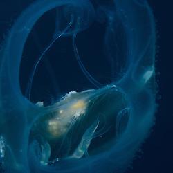 Lobate Ctenophore, unknown