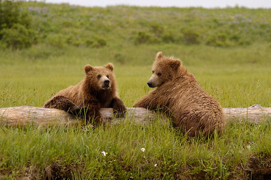 Alaskan Brown Bear (Ursus middendorffi)  Cubs resting on drift wood. Cute. Katmai National Park. Alaska.