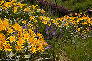 Arrow-leaf Balsamroot make a semicircle near a down Ponderosa Pine log. Lupine grow in a space between the yellow flowers;