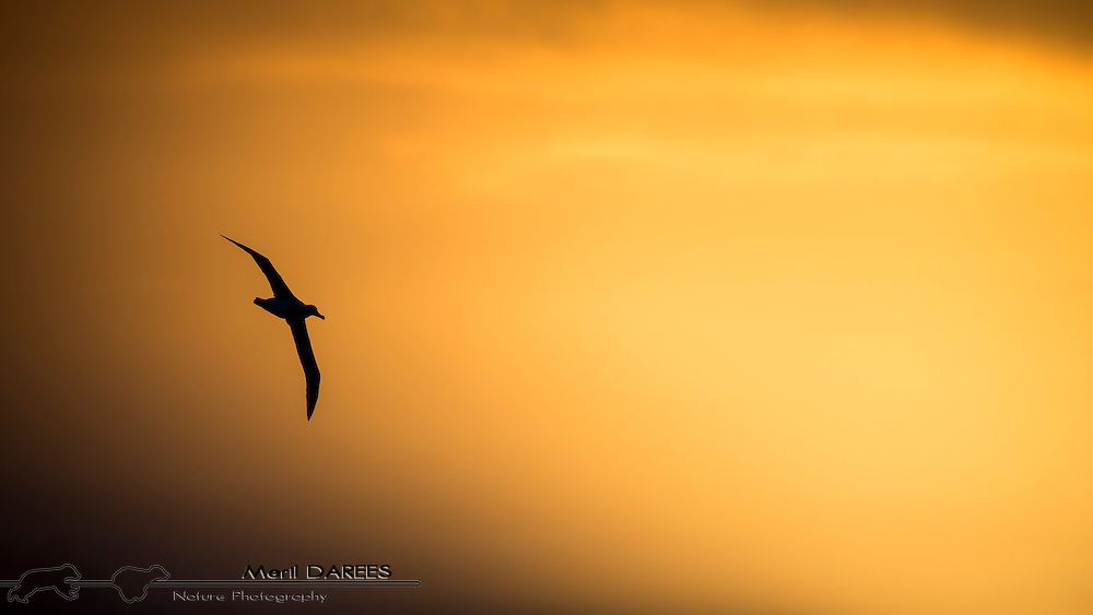 Sunrise backlit black eyebrows albatross in flight. Antarctica, Drake Straight.