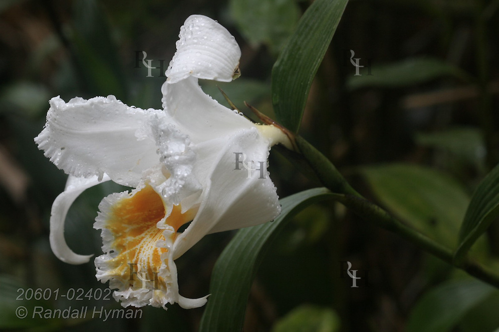 Orchid flower; Arenal National Park, Costa Rica.