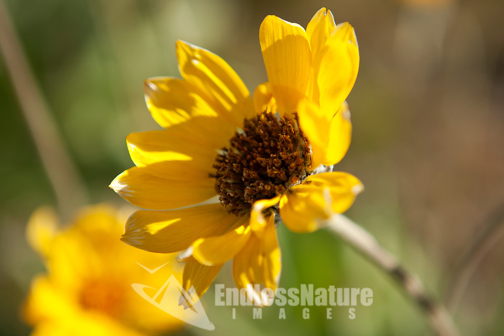 Image of a Little Sunflower as it opens wide for the morning sun.