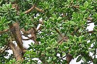 Cactus tree in Isosog
