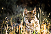 A coyote (Canis latrans) rests in a grassy meadow at Black Canyon of the Gunnison National Park, Colorado.