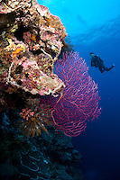 Diver and Gorgonian<br /> <br /> shot in Indonesia