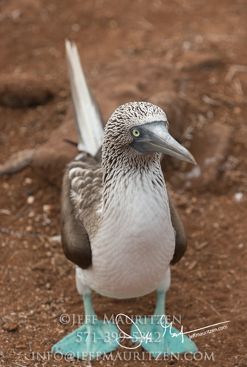 A Blue-footed booby stands on the ground on North Seymour island in the Galapagos.