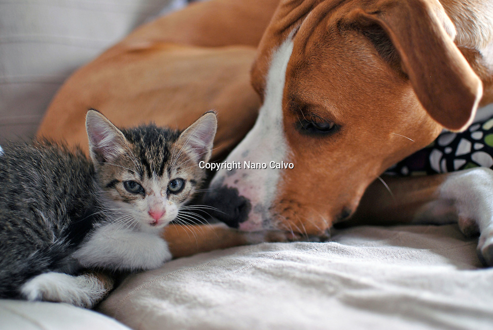 Few weeks old kitten interacting with dog