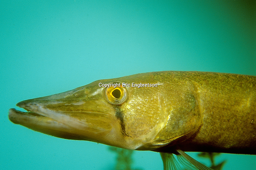 Grass Pickerel<br />