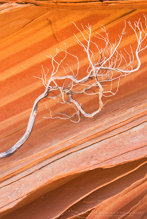 Bleached branch against patterns in layered sandstone, South Coyote Buttes, Vermilion Cliffs Wilderness Utah