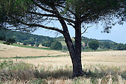 pine tree in a agricultural field