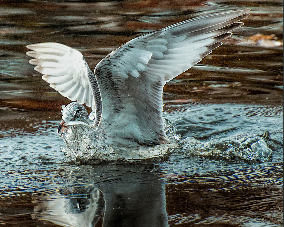 "Seabirds of Long Island Sound. Seagull catching fish. Size suitable for framing or canvas prints up to 13 x 16"" or any website."