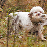 2017 Clumber Spaniel Club of America | Hunt Test