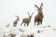 Alpensteinböcke (Capra ibex) bei einem Wintereinbruch am Pilatus an einem nebligen Tag mit Schneetreiben.