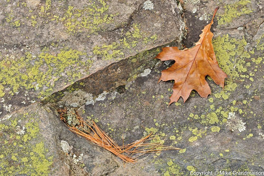 Oak leaf, lichens and white pine needles (Pinus strobi) at Hatchery Falls in autumn, Near Rosseau, Ontario, Canada