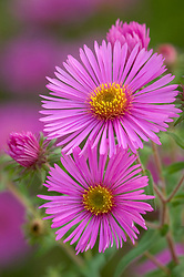 Aster novae-angliae 'Colway Galaxy'