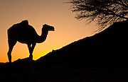 Shot at sunset along the Red Sea coast. Driving along a dusty background, we came across this lone camel, feeding on the scattered trees in the hills of the Eastern Desert. The area is home to approximately a dozen camels, cared after by a group of semi-nomadic Bedouins.