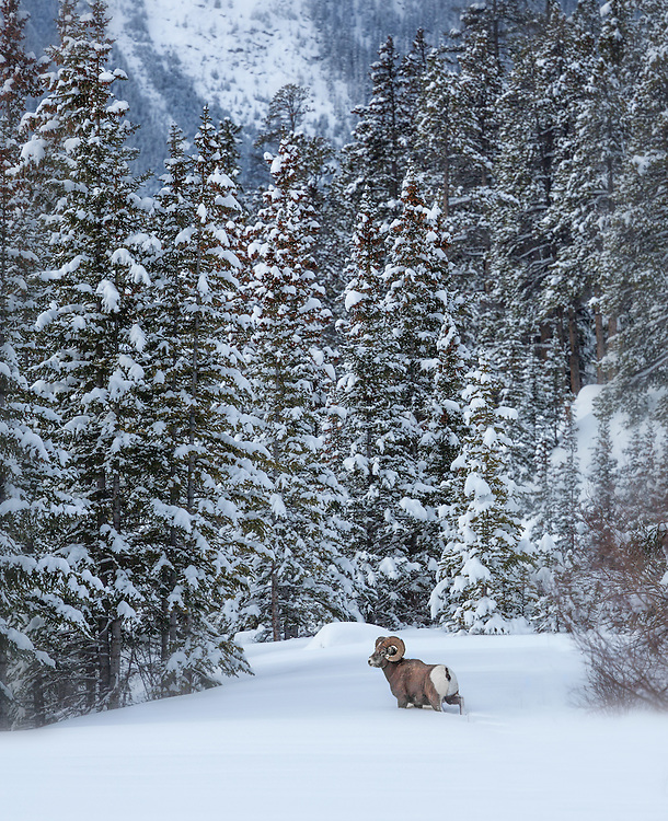 Male bighorn sheep (Ovis canadensis) in the snow of the Canadian Rockies, Banff National Park, Alberta, Canada