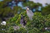 Great Blue Heron (Ardea hernias)