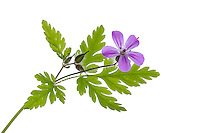 Herb Robert in Meet Your Neighbours field studio