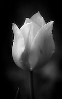 Black and White closeup of a wet tulip.