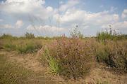 Heather bush at Lonate Pozzolo heathland, Varese, August...Un cespuglio di Brugo (Calluna Vulgaris) nella brughiera di Lonate Pozzolo, Varese, agosto.