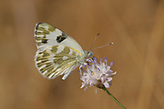 Bath White Pontia daplidice Butterfly  shot in Israel, Summer June