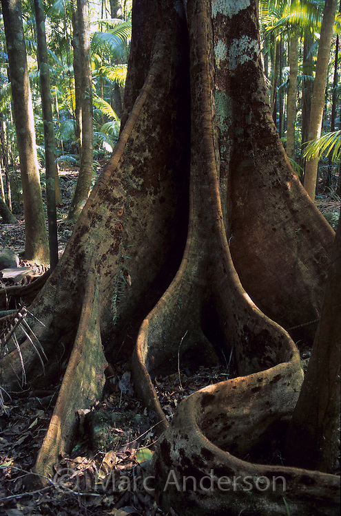 Rainforest tree with buttress roots, Nightcap National Park, Australia.