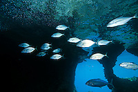 Orange Spotted Trevallys working a school of baitfish..Shot in West Papua Province, Indonesia