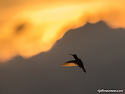 A hummingbird silhouetted against a mountain at sunset.