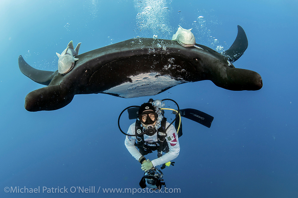 """A Giant Pacific Manta Ray, Manta birostris, hovers immediately over a scuba diver and enjoys the bubbles coming from his scuba equipment caressing her stomach. Photo taken at """"The Boiler"""", a seamount in the remote Revillagigedo Archipelago, roughly 220 miles south / southwest of Cabo San Lucas, Mexico. This is the only location in the world where Manta Rays are known to exhibit this behavior."""