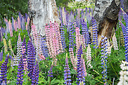 Lupins in the forest, Tekapo, New Zealand
