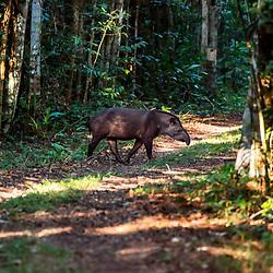 Anta-brasileira (Tapirus terrestris)  fotografado na Reserva Biológica de Sooretama em Linhares, Espírito Santo, Brasil. Registro feito em 2013 <br /> <br /> ENGLISH: Lowland tapir or South American tapir photographed in Sooretama Biological Reserve in Linhares, Espírito Santo, Brazil. Picture made in 2013