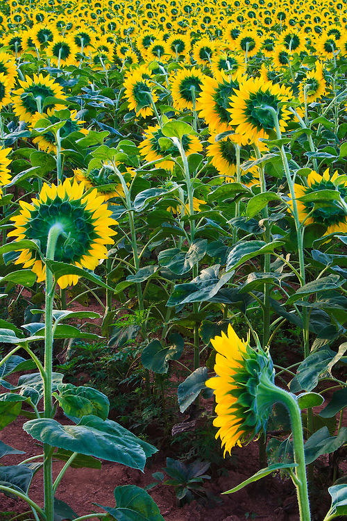 Acres of sunflowers (Helianthus annuus), planted to attract game bird species, face east towards the rising sun, McKee-Beshers Wildlife Management Area, Poolesville, Maryland.