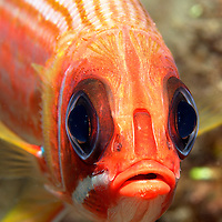 Closeup face shot of a Squirrelfish.<br /> <br /> Being largely or entirely nocturnal, the Squirrelfish have relatively large eyes. During the day they typically remain hidden in crevices, caves, or under ledges.